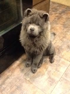 Blue chow chow puppy :) #chowchow, #chow