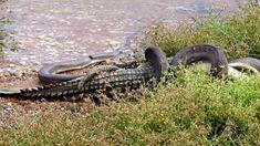 Python vs Crocodile