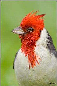 Red-crested Cardinal by E.J. Peiker