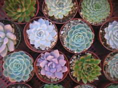 Top Quality A Collection Of 6 Large Succulent by SucculentsGalore