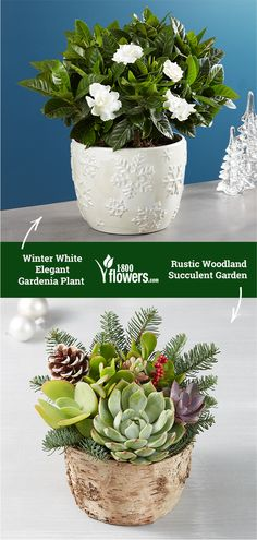 Shop winter flowers & plant gifts from to brighten even the coldest winter day. Send a winter bouquet delivery for the perfect winter gift! Winter Plants, Winter Flowers, Bouquet Delivery, Flower Delivery, Winter Day, Winter White, Growing Flowers, Planting Flowers, Outdoor Pots