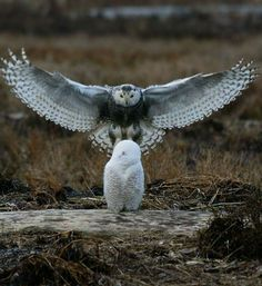 Snowy owls                                                                                                                                                                                 More