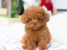 Tiny Teacup Poodle for sale - Micro Poodle Puppies for Sale Teacup Puppy Breeds, Teacup Poodle Puppies, Micro Teacup Puppies, Poodle Puppies For Sale, Tea Cup Poodle, Cockapoo Puppies, Cute Dogs And Puppies, Baby Dogs, Cavachon