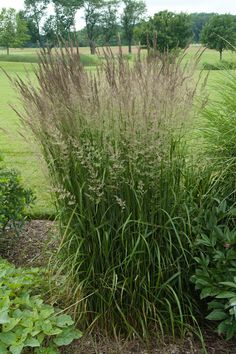 """Feather Reed Grass, 48-60"""".  Gold variegated, green leaves with bright gold center.  Wheat-like seed heads appear in early summer and last all season.  Needs moisture in hot weather.  Cut back to 6"""" in spring."""