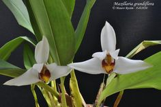 Maxillaria , abbreviated as Max  in horticultural trade, is a large genus of orchids  (family Orchidaceae ). This is a diverse genus, with v...