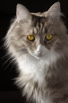 Yellow eyes,  Turkish Angora Cat