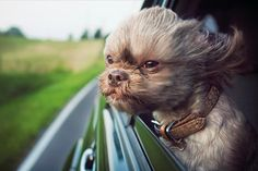 A dog's life on the open road: It's one of their favourite pastimes, and we love watching them do it. Hence a new book dedicated to dogs hanging out of car windows. Zooming down the motorway, five-year-old Charlee the shih tzu loves nothing more than to stick his nose out of the window and let the wind whip through his fur. But let's be honest: it's us, a nation obsessed with dogs – dogs in jumpers, dogs in water, dogs shaking themselves dry – who take most delight in it.