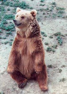 Grizzly bear sitting up - photo#55