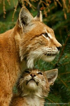 Lynx mother with her youngster.