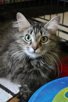 Meet Lil Debbie, a Petfinder adoptable Maine Coon Cat   Atlanta, GA   Lil Debbie is just as sweet as her name sounds!!! This little lady cannot stop making biscuits and...