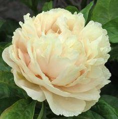 Hollingsworth Peonies - Peony Guide & Tips Flowers Uk, Spring Flowers, Beautiful Flowers, Garden Types, Love Garden, Garden Paths, Peony Meaning, Peony Care, Border Plants