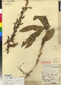 Habenaria oreophila