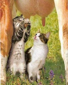 cats, animals, pet, milk, the farm, kittens, tap, kitty, country