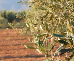 Kalamata Olives On The Tree in June