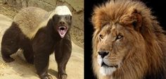 Honey badger vs lion fight and facts
