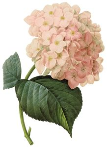 Vintage Hydrangea Illustration
