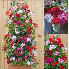 CLIMBING GERANIUMS - AT&T Yahoo Search Results