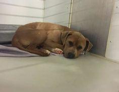 Kansas City, MO - American Pit Bull Terrier. Meet Aladin a Dog for Adoption.