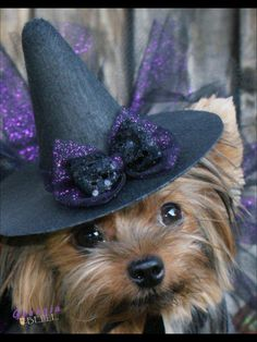 Yorkie wearing a Halloween hat. Yorkies, Yorkie Puppy, Cute Puppies, Cute Dogs, Animals Beautiful, Cute Animals, Silky Terrier, Cute Animal Pictures, Little Dogs