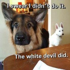 German Shepherd memes - Page 8