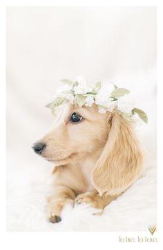 Dachshund cream with flower crowne- To Live. Photograph cream with flower crowne- To Live. Dachshund Funny, Dachshund Puppies, Weenie Dogs, Dachshund Love, Cute Puppies, Cute Dogs, Dogs And Puppies, Daschund, English Cream Dachshund