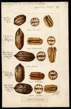 Artist: Heiges, Bertha Scientific name:Carya illinoinensis  Common name:pecans Geographic origin:Ocean Springs, Jackson County, Mississippi, United States  Physical description:1 art original : col. ; 17 x 26 cm.  NAL note:Watercolor includes: San Saban, E.E. Risien, San Saba, TX; Centennial, A.M. Sobral, Logan, LA;  Jewett, Stuart Pecan Co., Ocean Springs, MS;Frotscher, B.M. Young, Morgan City, LA;  Pabst, Charles E. Pabst, Ocean Springs, MS Year:1904 Date created 1904