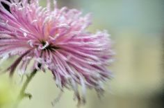 use copon GYKNN at checkoat for special discount Chrysanthemum Flower, Dandelion, Chrysanthemums, Artwork, Flowers, Plants, Pink, Image, Work Of Art