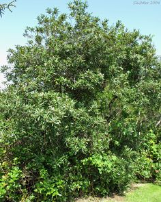 Pacific Bayberry, Pacific Wax Myrtle, Western Wax Myrtle: Myrica californica (Synonyms: