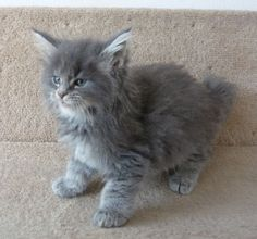 Maine Coon kitten, father Rory, grandfather Buddy
