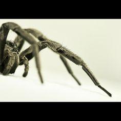 Lycosidae II