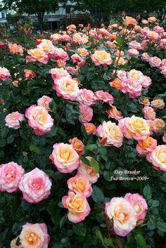 PlantFiles Pictures: Floribunda Rose 'Day Breaker' (Rosa) by Happenstance