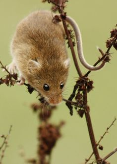 Harvest mouse, from our photo walk with wildlife photography expert Paul Hobson.  Image by Robert Cragg.