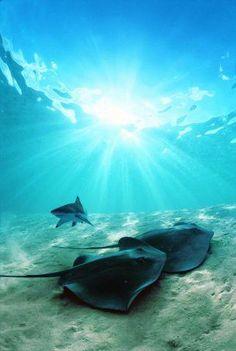 Scuba Diver Life - Sharks and Mantas