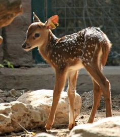 So cute. Now who would want to eat a little Bambi?