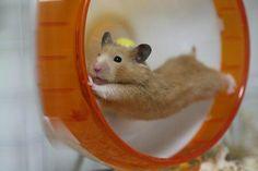 Hamsters que tienen como único objetivo matarte... pero de ternura