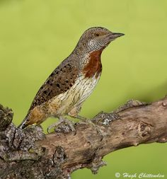Red-throated Wryneck (Jynx ruficollis) is an ant-eating specialist with adaptations to assist in the mopping up of large numbers of Hymenoptera (Ant) prey. This bird's long tongue is capable of extending more than 60 mm past the tip of the bill and covered with a sticky mucus secretion from the salivary glands. This weapon is flicked out at amazing speed to gather beakfuls of ants for delivery to hungry chicks. Photo by Hugh Chittenden.