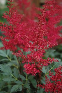 Find Red Sentinel Astilbe (Astilbe x arendsii 'Red Sentinel') in Kalamazoo Portage Battle Creek Springfield Paw Paw Michigan MI at Wedel's Nursery, Florist and Garden Center (False Spirea) Shade Flowers, Types Of Flowers, Floral Flowers, Red Flowers, Beautiful Flowers, Deer Proof Plants, Summer Blooming Flowers, Garden Front Of House, Astilbe