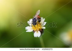 Honey Bee on Coat buttons flower or Mexican daisy under morning sunlight , Close Up Macro