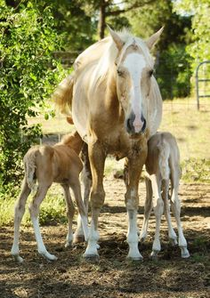 Sophie the quarter horse mare with her twin foals, Bonnie and Clyde.