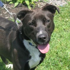 Pip is an adoptable Pit Bull Terrier Dog in Stanstead, QC. Pip is approximately 2 years old, about 40 pounds and is a border collie/ pitt mix. Pip was saved from death row at a high kill pound just ou...