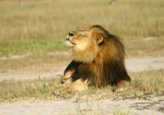 Another doctor killed another lion in Zimbabwe. Heartbroken :(