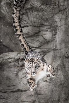 beautiful-wildlife:Snow Leopard Wall Bounce by Abeselom Zerit - - Panthera uncia - Animals Big Cats, Cool Cats, Cats And Kittens, Beautiful Cats, Animals Beautiful, Animals And Pets, Cute Animals, Wild Animals, Baby Animals