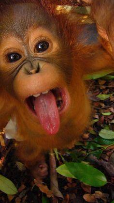 Baby orangutan(bet this gentleman  s ' favourite song is Mambo no5 ... :P)
