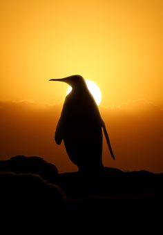 Pingu by Furstset