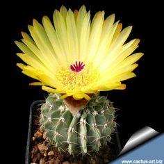 Notocactus buiningii syn: Parodia buiningii