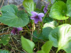 Photo: Viola de semis - Mauve