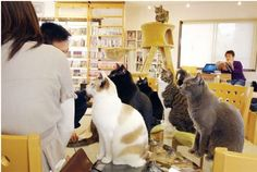 A cat cafe in Japan.