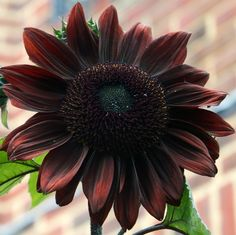 20 Fresh Seeds w/Instructions Near black, this beautiful sunflower produces bushy plants that have numerous long, slender lateral branches with a Growing Sunflowers, Planting Sunflowers, Red Sunflowers, Sunflower Garden, Yellow Sunflower, Sunflower Seeds, Black Flowers, Beautiful Flowers, Sunflower Pictures