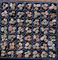 Lithops | Succulent South