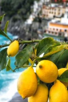 ciao! from Italy: the mystique of a lemon tree